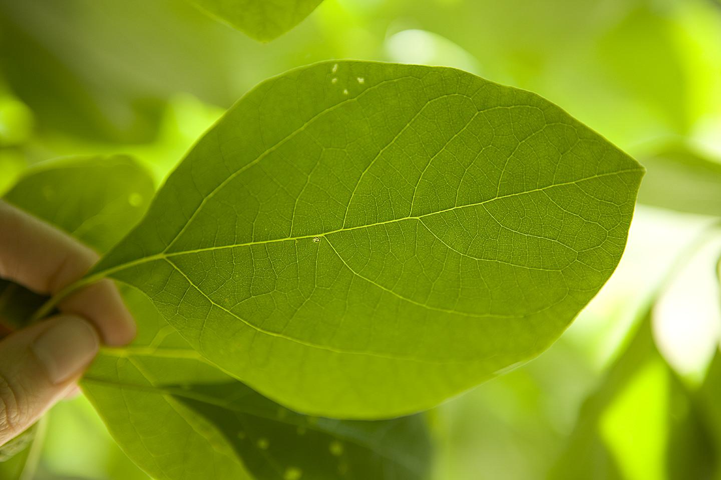 A light-skinned person holds a bright green leaf between their first finger and thumb close to the camera so that all veins and details of the leaf are visible.