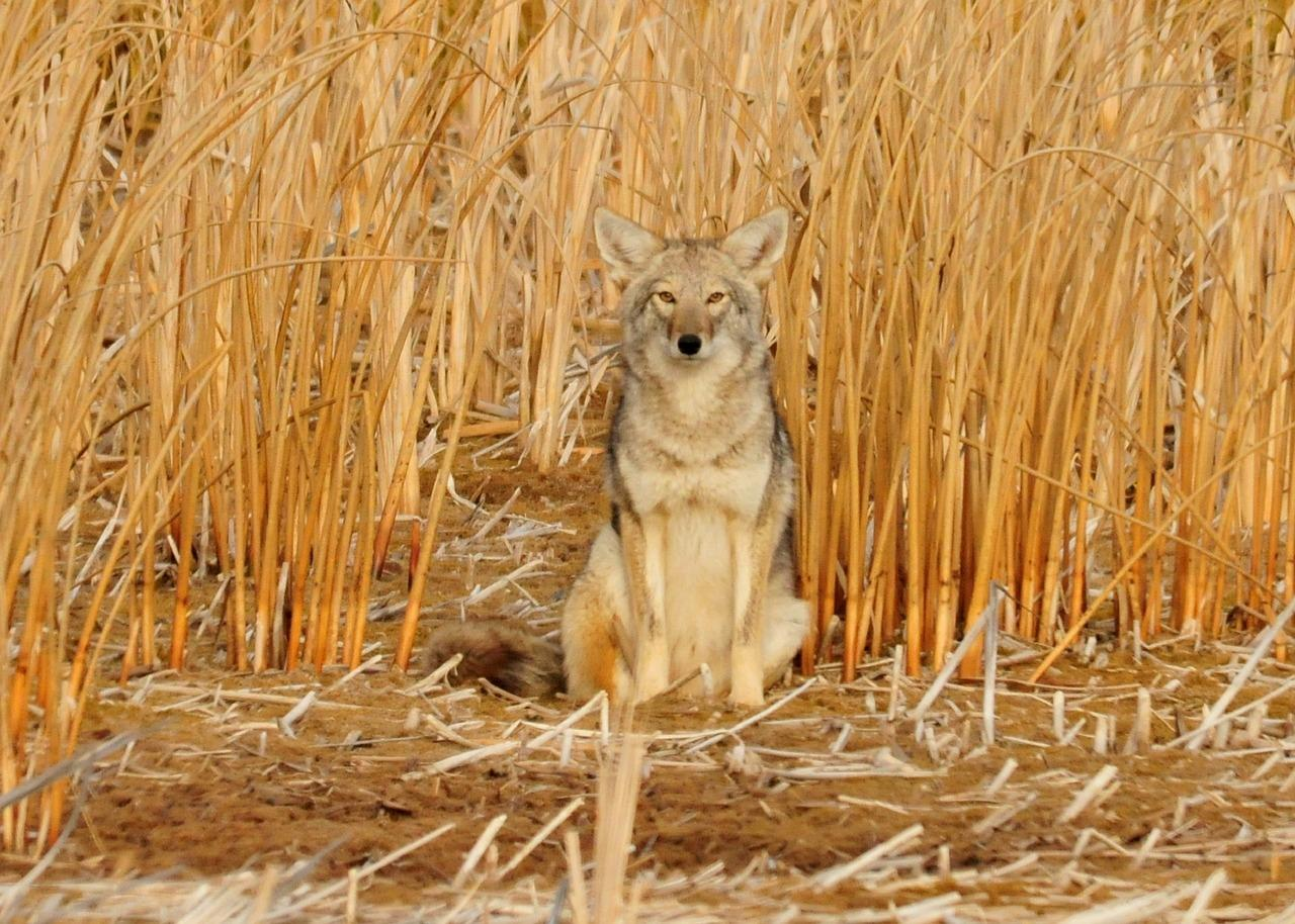 A coyote sits amid tall yellow grass that almost blends *in* with its tan fur.