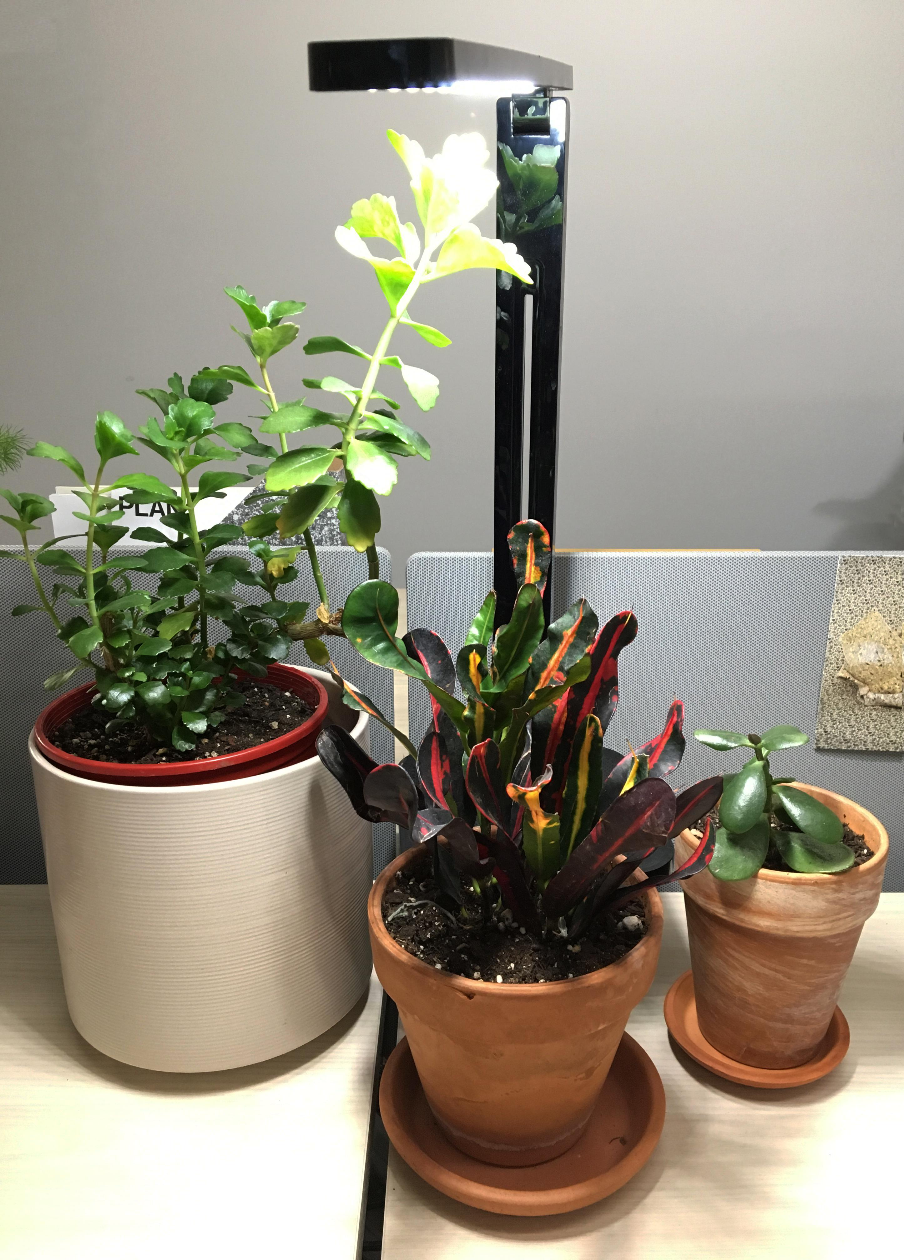 Three plants in ceramic pots sit on an office desk, illuminated by a minimal, LED light.