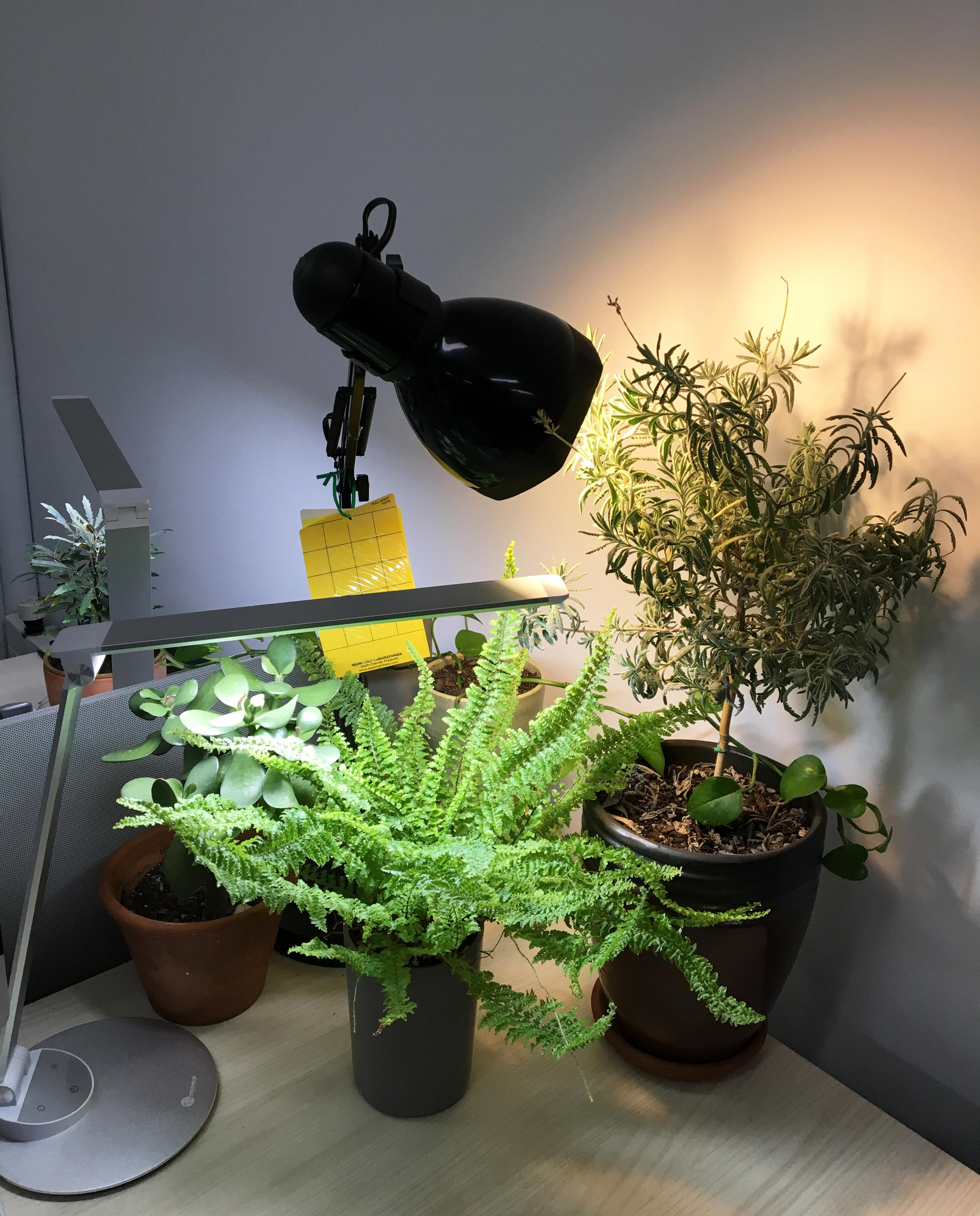Vibrant green plants of various sizes sit on a table illuminated by desk lamps.