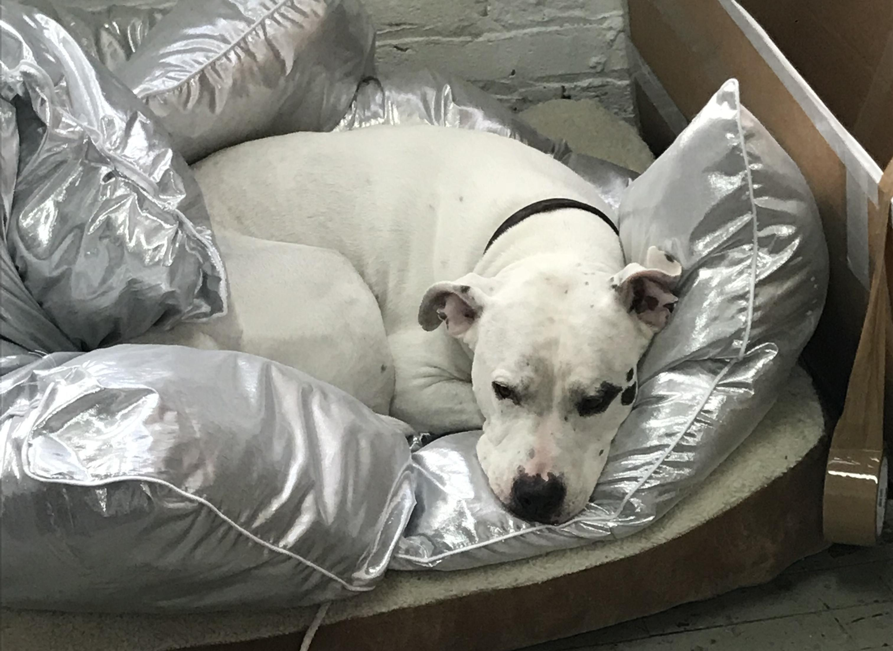 A white dog with black spots on its face rests on a puffy, metallic silver blanket.